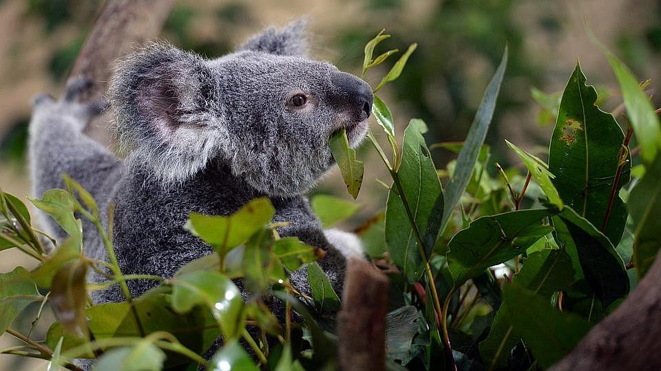 KoalaManiaOne200515