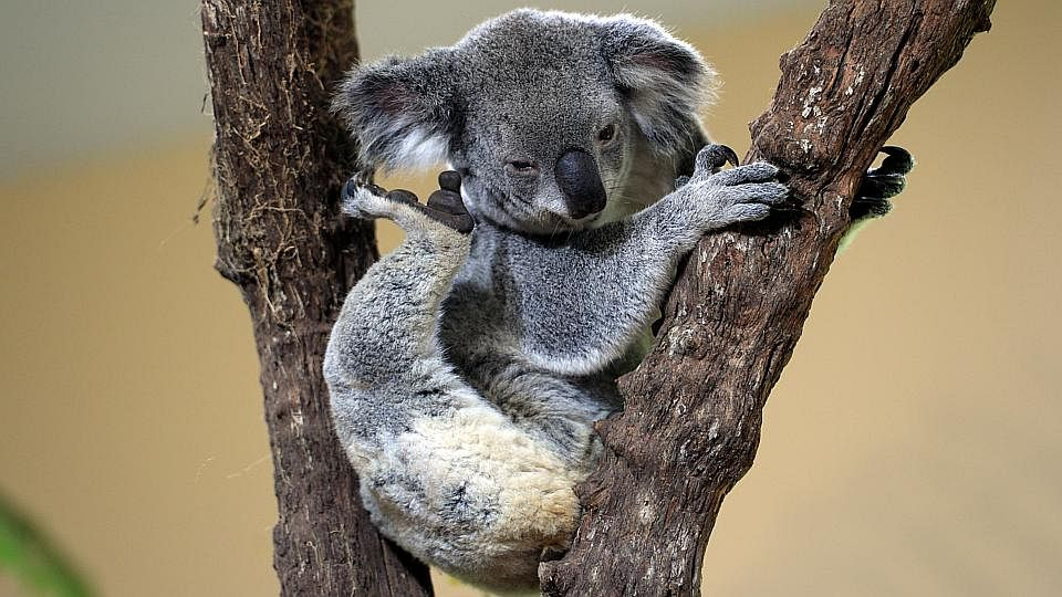 KoalaManiaThree200515