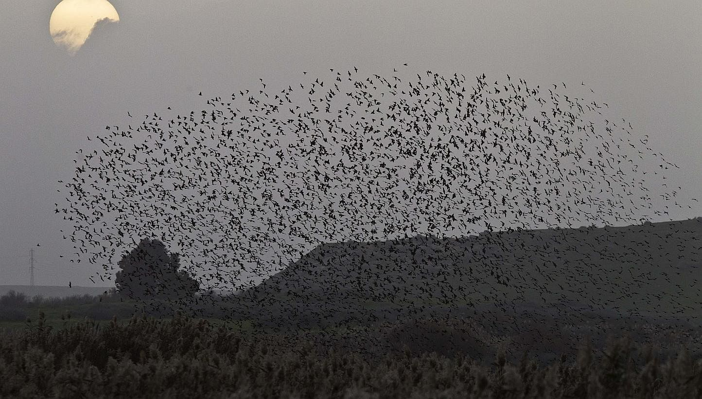 Starlings11021504e