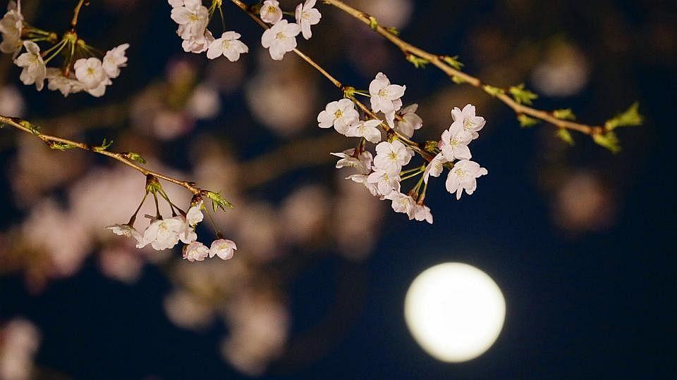 Blossom5 3103