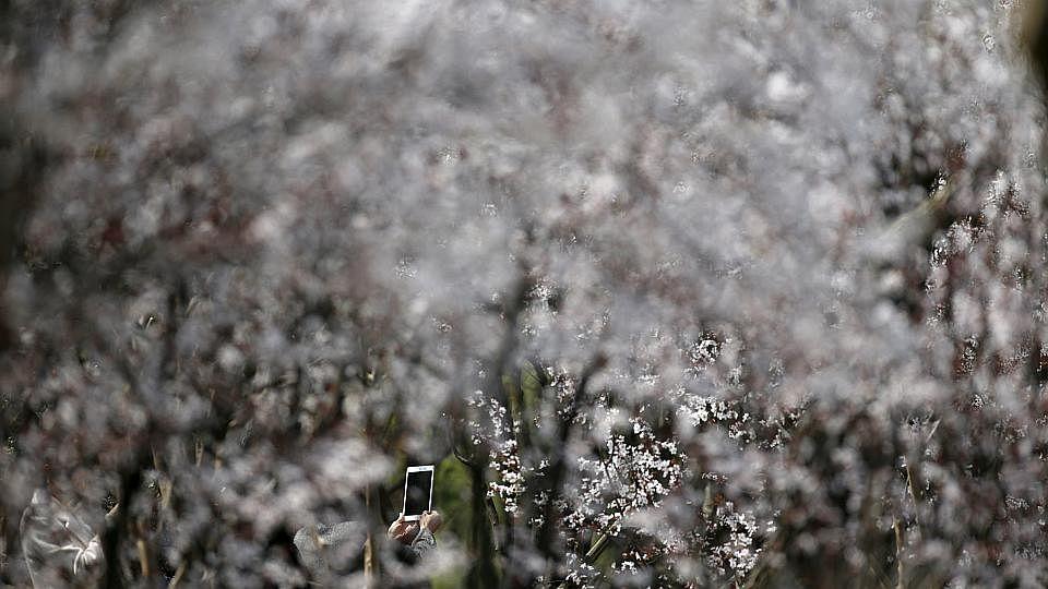 China blossom1