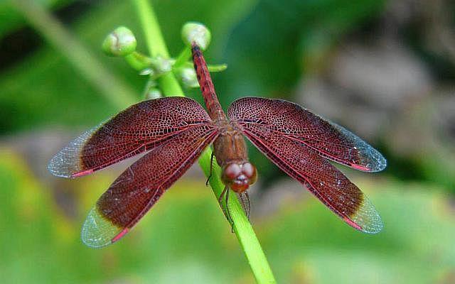 Dw nparks dragonfly 150424