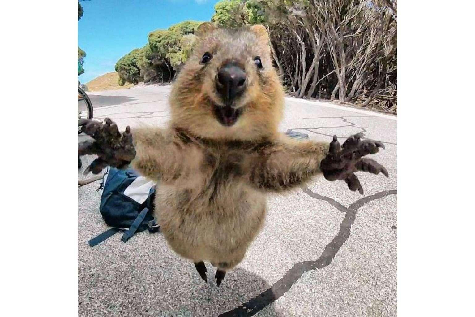 Smiling 'hug me' quokka in Australia is Instagram's latest darling,  Australia/NZ News & Top Stories - The Straits Times
