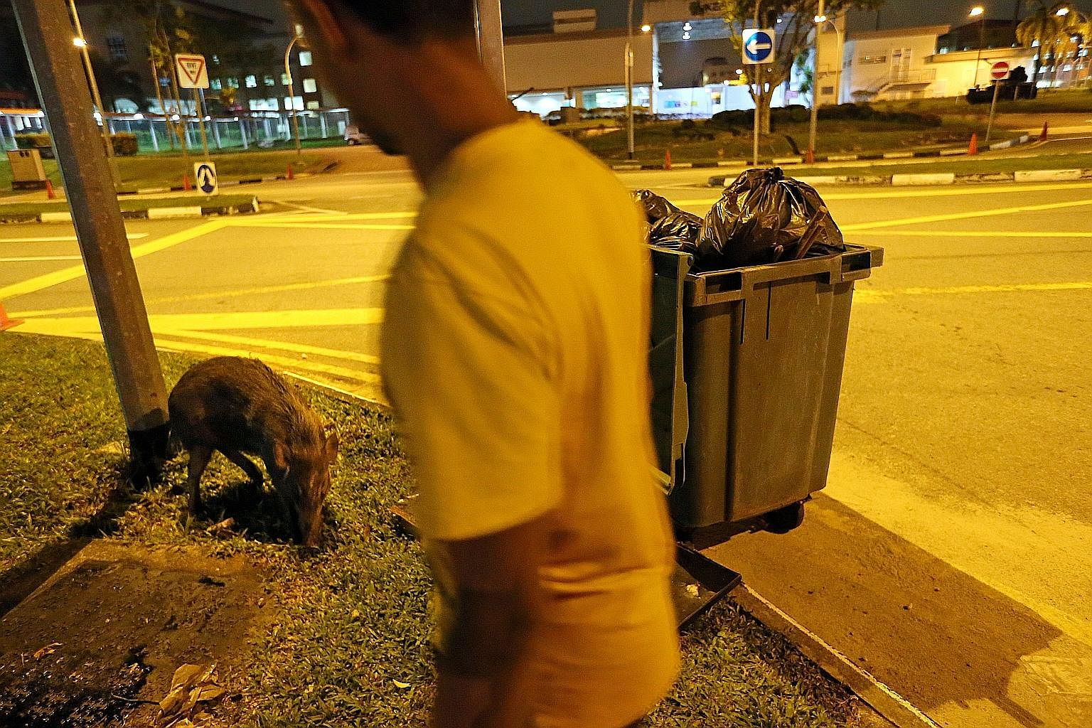A boar foraging for food off Choa Chu Kang Road last year. The study that NParks may conduct would look at how far the pigs move in search o