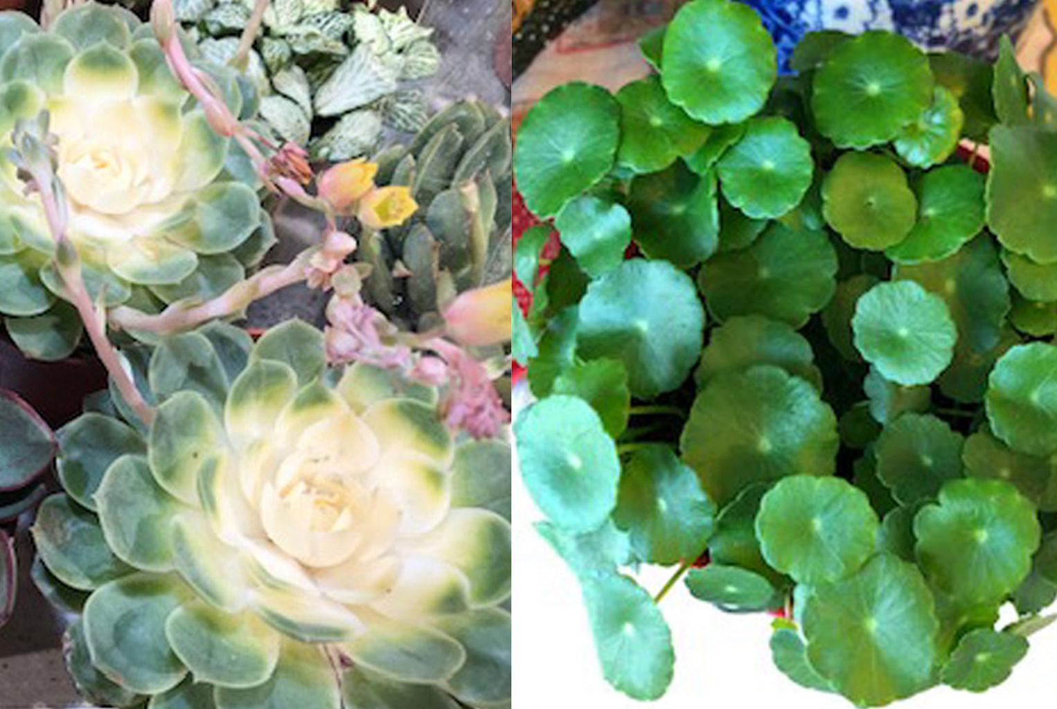 Echeveria (left) and Marsh Pennywort (right)