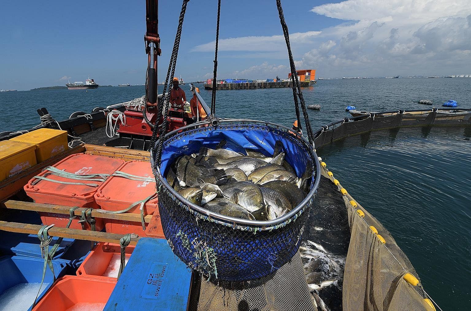 Mr Wong Jing Kai, partner of Ah Hua Kelong, with a lobster that the company rears along with pearl garoupa, seabass, snapper and pomfret at its floating farm off Pulau Ubin and a kelong off Sembawang. Barramundi at the Kuhlbarra fish farm off Pulau S