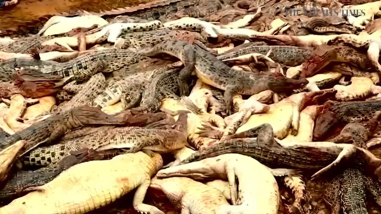 f797da71bc0c Indonesian mob slaughters hundreds of crocodiles on farm in revenge attack
